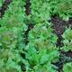Vegetable%20garden%2010%204%2011%20mulching%20009