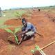 Planting%20bananas
