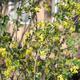 Ribes%20aureum%20bush