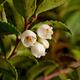 Evergreenhuckleberry