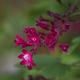 Redfloweringcurrant