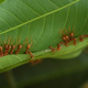 Permaculture%20 %20leafcutter%20ants%20at%20faasai%20resort