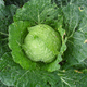 Cabbage%20from%20the%20garden