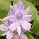 800px common water hyacinth