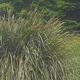 Carexpanniculata