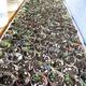 500 new goji plants prior to thinning