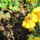 Marigolds_in_front_of_strawberry_and_spruce_mulch