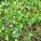 Sweetpotatogroundcover