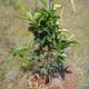Fruittree3