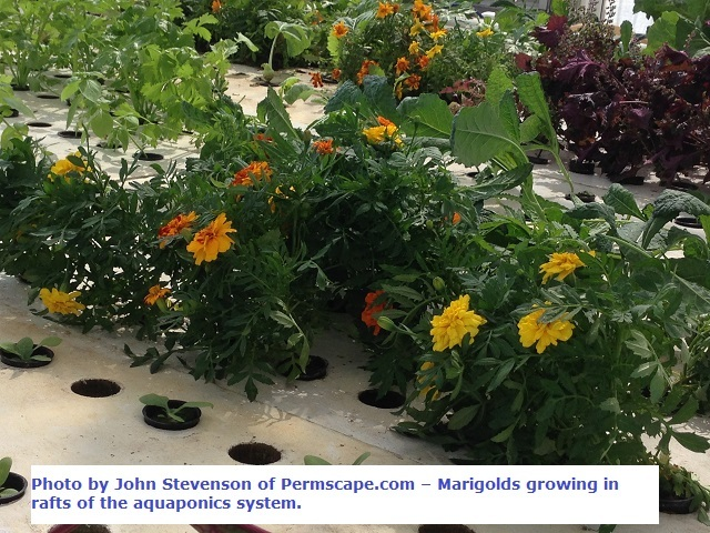 Plants growing in the aquaponics system – Photo by John Stevenson of Permscape.com