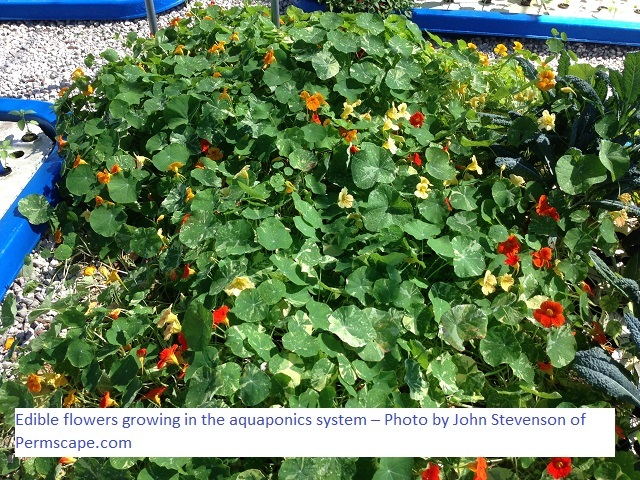 Edible flowers growing in the aquaponics system – Photo by John Stevenson of Permscape.com