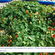 Edible flowers growing in the aquaponics system %e2%80%93 photo by john stevenson of permscape