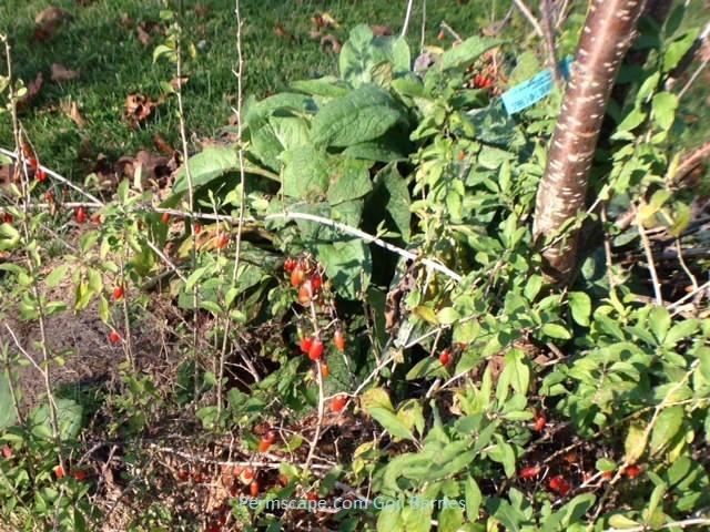 Goji trials – companion planting – Permscape at Permscape.com