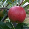 Malus Sieversii Food Forest