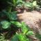Assagao Anjuna, Goa, India, Kitchen Garden & Food Forest