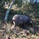 Pigs for soil restoration