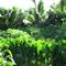 Uluwehi Farm and Nursery