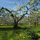 Vesterbacka Organic Apple Orchard