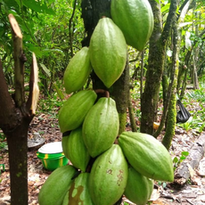 Regenerative Agroforestry-Abandoned Cacao farms Restoration Project, Gola Rainforest, Sierra Leone